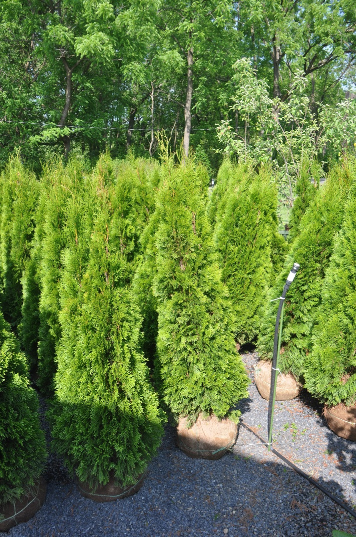 Emerald Green Arborvitae 4 ft