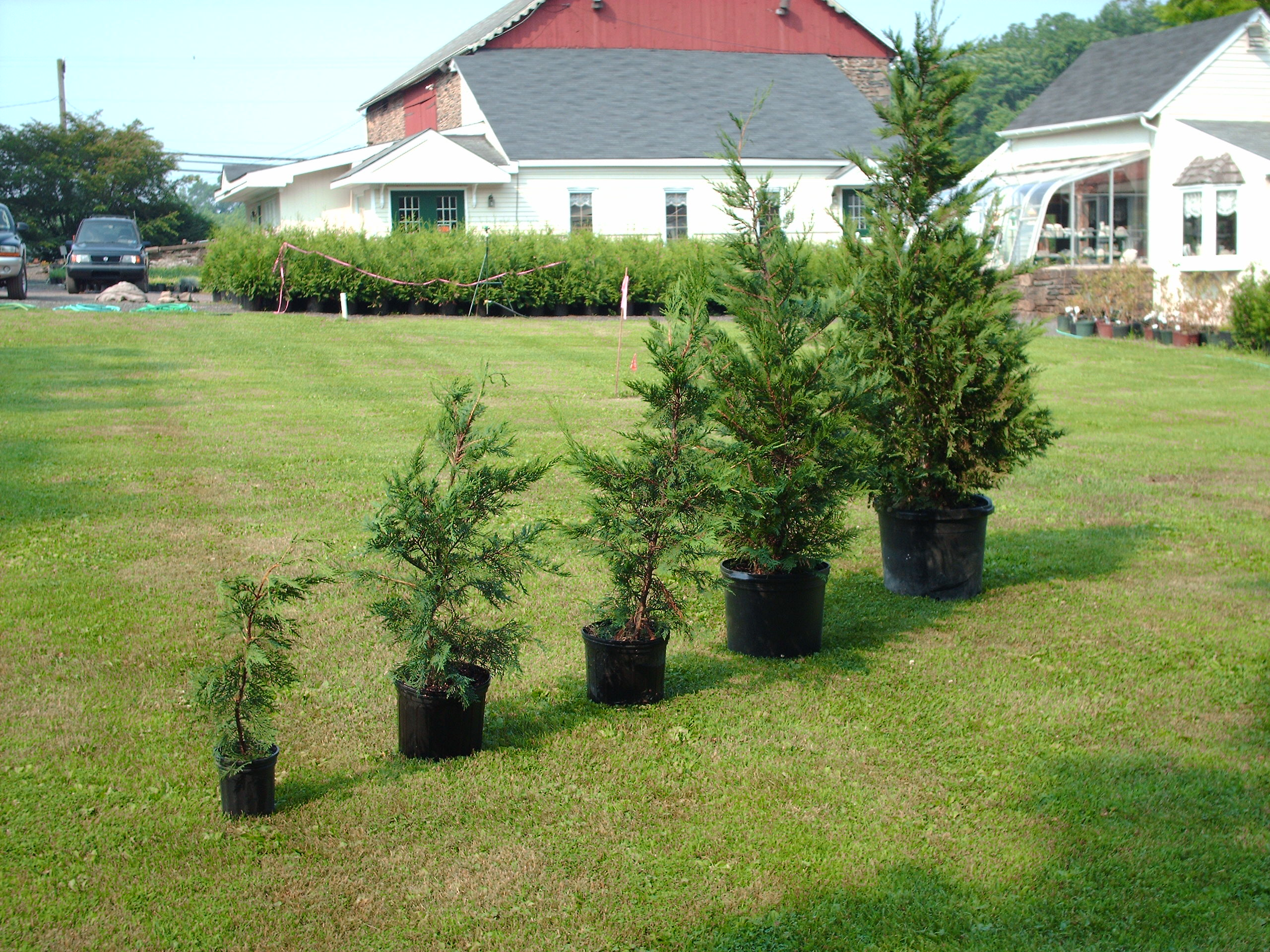 Leyland Cypress Plants 2ft to 6ft in height